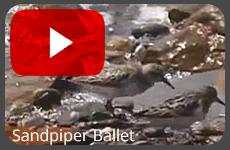 sandpiperballetvideoplay